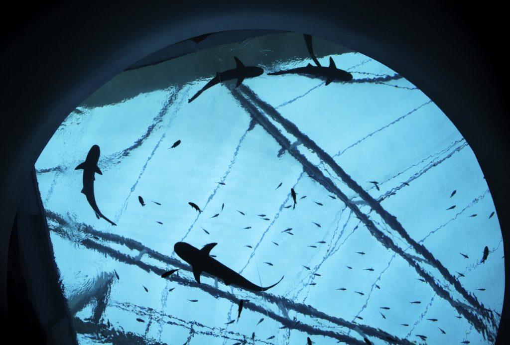 sharks circling overhead at the Singapore aquarium