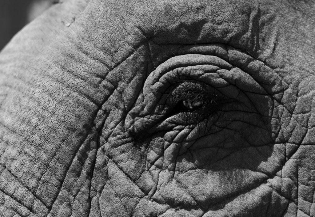 Black and white closeup of an elephants eye.