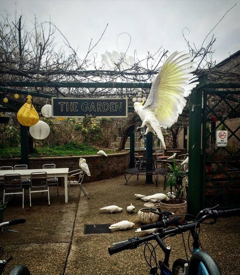 wild cockatoos ANU campus australia