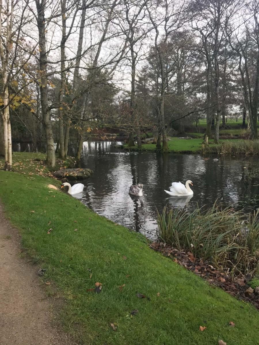 Three swans swimming in a lake Ireland
