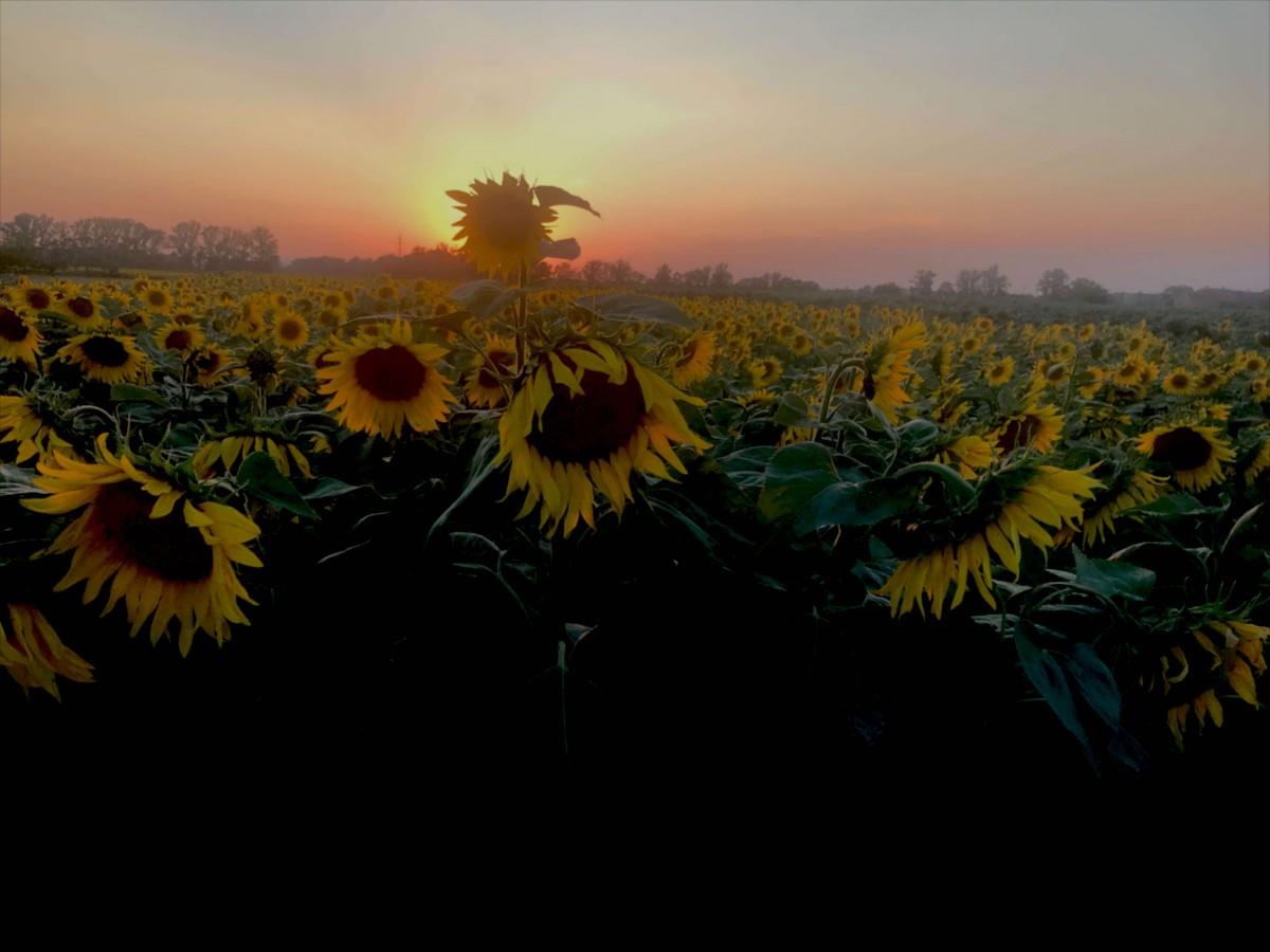 A sunflower field outside the house of my workaway in Czech Republic.